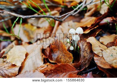 White Inedible Mushrooms On Yellow Leaves On Autumn Forest.