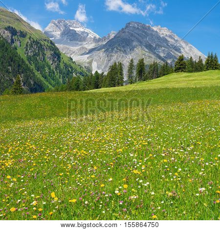 Gorgeous meadow of wild flowers of the Swiss Alps in the Grisons. Bright summer day.