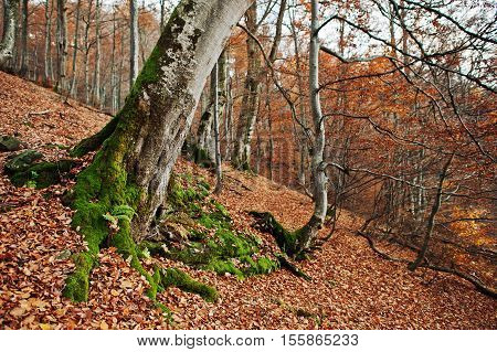 Root Of Tres With Moss On Autumn Forest