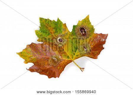 Chestnuts with open husk lie on platan leave. Isolated white background. Platanus x acerifolia. Copy Space