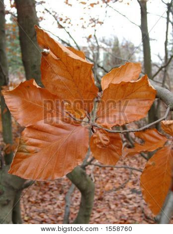 Beech In The Autumn