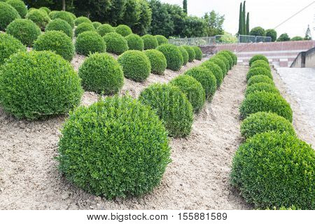 Boxwood - Green garden balls in France