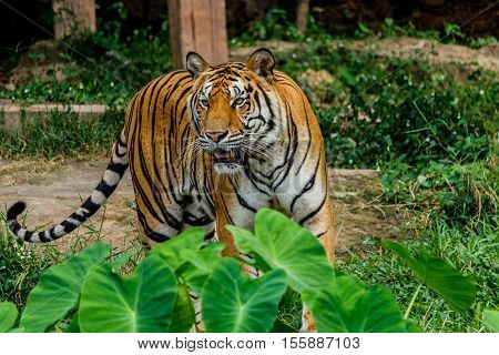 Big Bengal Tiger in forest of thailand
