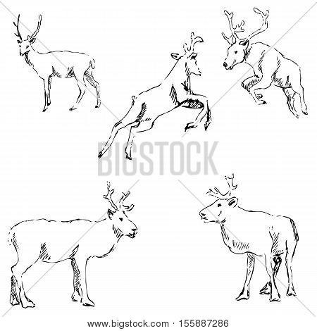 Deer sketch. Pencil drawing by hand. Vector image