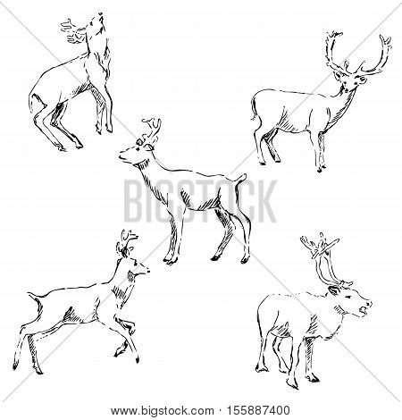 Deer sketch. Pencil drawing by hand. Vector image