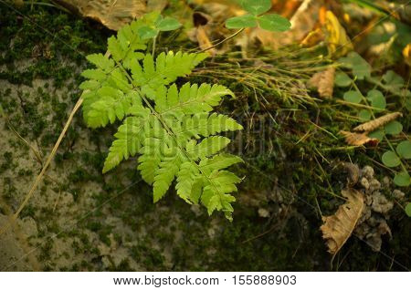 Little Fern Leaves Exuberant And Lush On Moss Background.
