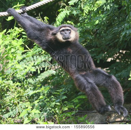 Black-handed Gibbon swinging by its arms from a rope, zoo near Songkhla, Thailand