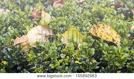 Boxwood Bush With Fallen Dried Leaves