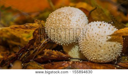 The Fly Agaric or Fly Amanita Amanita muscaria is now primarily famed for its hallucinogenic properties.