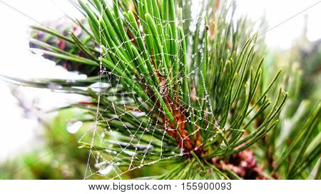 Spider web on branch of dwarf cedar tree Kunashir Kuril island Russia