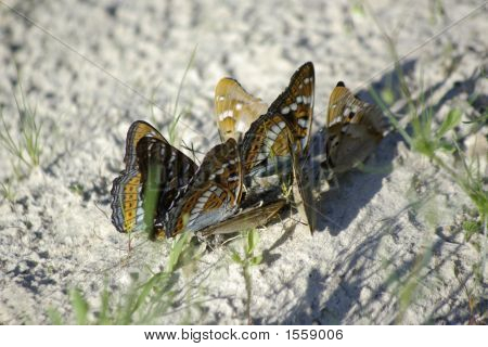 Butterflies On Sand
