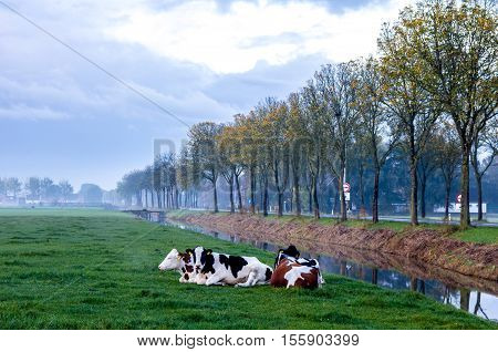 Beemster the Netherlands - November 5 2016: Dutch dairy cattle resting on grass