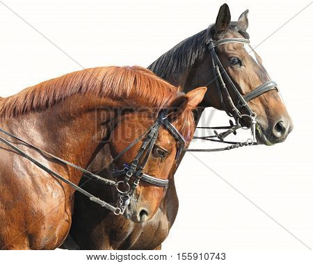Portrait of two brown horses isolated on white background.