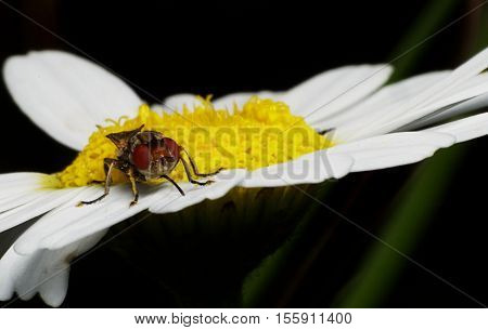 Close-up photo of a fly on a white and yellow chamomile (daisy) looking for opportunities