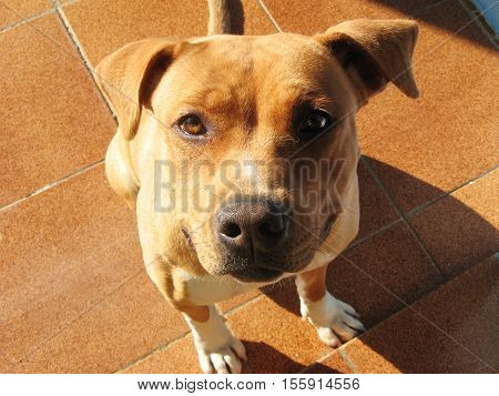Dog staring - Brown Pit bull - No Ears Cropped