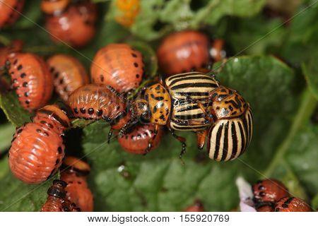 Potato Beetles Destroyers