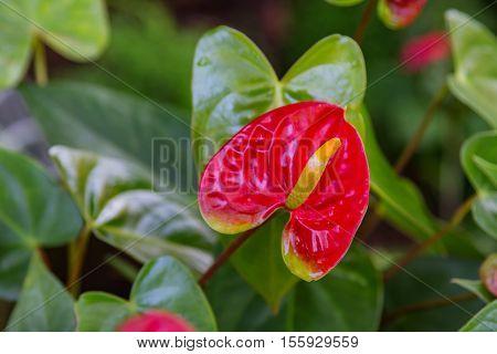 Beautiful Red Anthurium flower in the garden