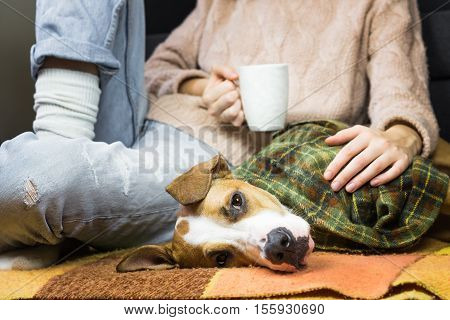 Puppy covered in plaid relaxing with human. Lazy dog in throw rug relaxing with human in jeans and wool sweater who drinks tea or coffee