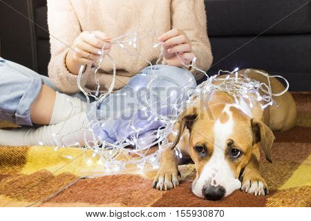 Person unwinds christmas lights with puppy. Female person unwinding garland on the floor, dog lying next to her on plaid