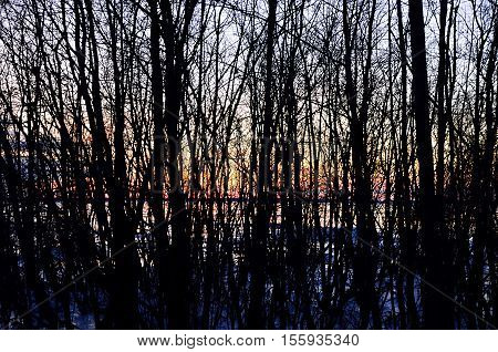 Leafless trees and sunset. Winter evening sunset behind the leafless trees.