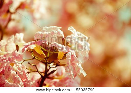 Malaysian Tacoma flower resemble sakura in spring