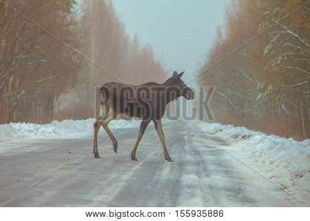 On The Winter Road Is Walking Young Moose