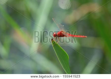 Dragonfly in the nature habitat. Dragonfly sitting on the green leave.