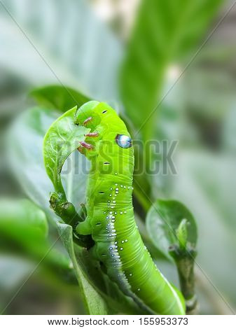 Green cobra Caterpillar(Insect) in Macro in the Garden.
