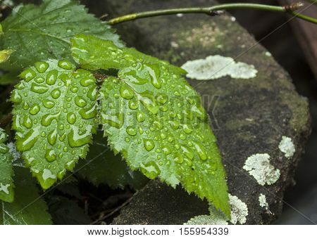 Light Reflecting In Bright Green Leaves Covered In Raindrops