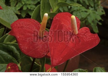 Red Anthurium Flower And Leaves Covered In Raindrops