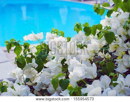 White bougainvillea flowers near the swimming pool.