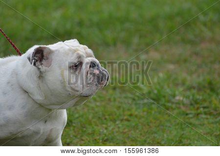 English bulldog with a very smug face.