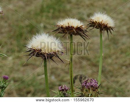 Thistles paradise.Anatolian geography.plant health and Anatolia. nature and virgin territory