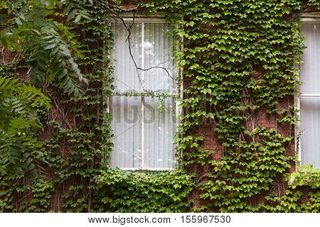 leafy green foliage covering a brick wall as it tries to overgrow the window that peeks out of it