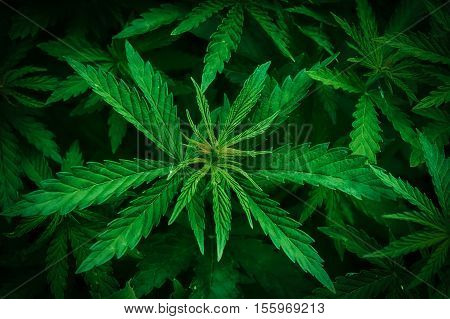 Cannabis marijuana leaf closeup background. Nature background. Low key