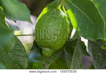 Green and Unripen Lemon Hanging from the Tree