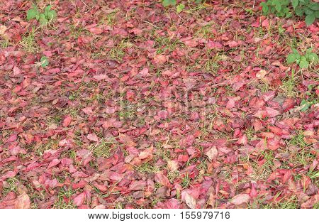 Red leaves of autumn on the ground