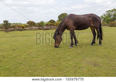 New Forest wild pony grazing on the heathland