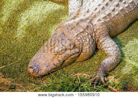 alligator on natural background