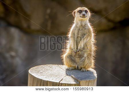 Watchful meerkats standing guard (Surikate)  Zoo
