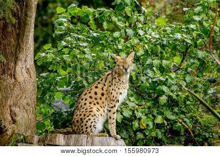 Serval cat (Felis serval) in the natural environment