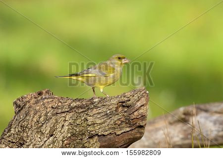 male greenfinch with seeds on tree trunk outdoors