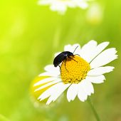 Insect crawling on camomile poster