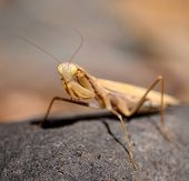 Isolated Praying mantis in foreground on rock poster