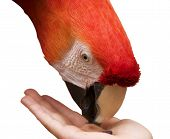 A scarlet macaw (ara macao) with bright scarlet red feathers eating a seed held in the hand of a child. (Submitter's Note: This image is focused on the eye but has shallow depth of field.) poster