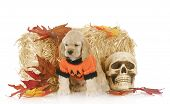 cocker spaniel puppy sitting in halloween setting with reflection on white background poster