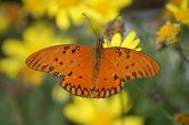 Beautiful Butterfly feeding on yellow flowers in tropical Iguazu poster