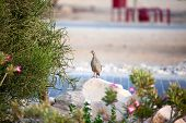 A watchful sandgrouse on Sir Bani Yas island UAE poster