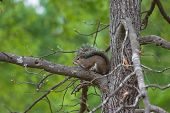 This bushy tail squirrel thinks he is hide in the fork of this hickory tree. poster