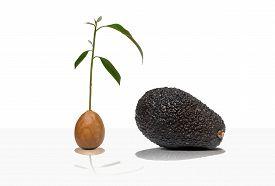 Avocado seed with tree and avocado fruit